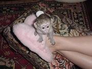 healthy well home train capuchin monkeys