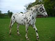 Leopard Mark Appaloosa Gelding Horses For Sale