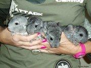 Very tame Chinchilla Babies
