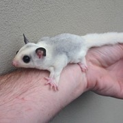 White Marbled Mosaic Male Sugar Glider