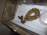 Spider And Pastel Ball Python
