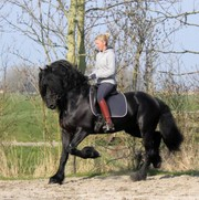 BLACK FRISIAN HORSE FOR SALE