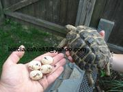 tortoises and tortoise eggs for sale