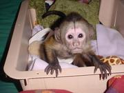 Baby monkey for a Loving Family