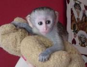 SOCIALIZED HOME TRAIN CAPUCHIN MONKEYS AVAILABLE NOW !!!