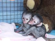 2Adorable  and jovial purebreed monkeys For Free Adoption